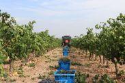 Vendimia manual en viña plantada en espaldera