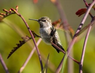 Anna's Hummingbird2