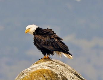 Bald Eagle1