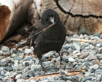 Crow on the Beach