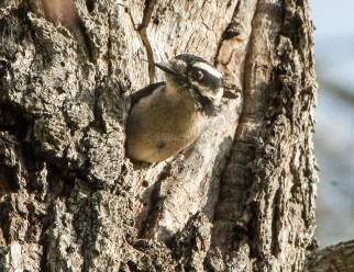 Downy Woodpecker Emerging from Nest