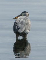 Great Blue Heron with a Fish1