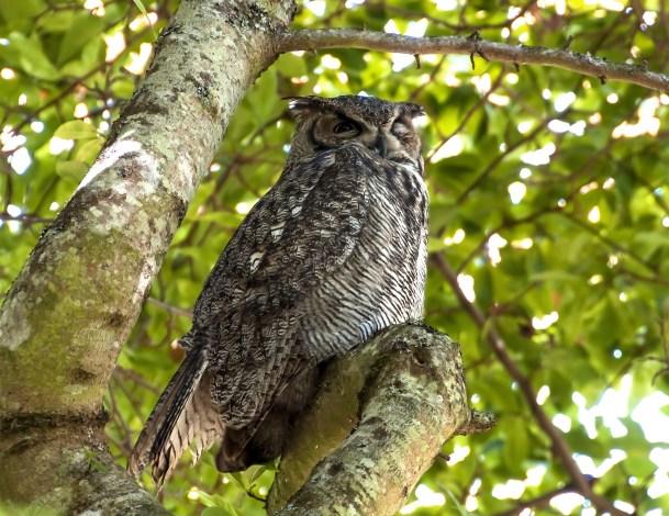 Great Horned Owl1