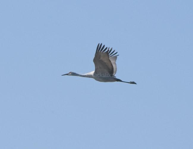 Greater Sandhill Crane in Flight