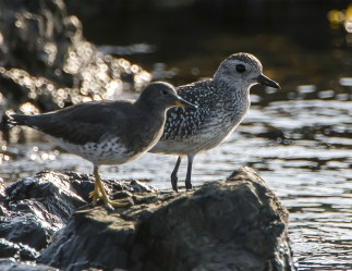 Juvenile Black-Bellied Plover and Surfbird