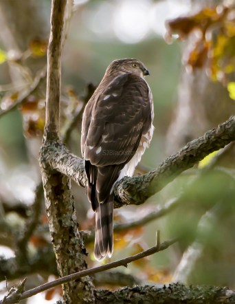 Juvenile Sharp-Shinned Hawk