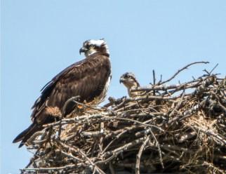 Osprey Female and Nestling