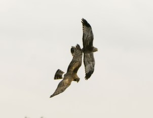 Northern Harrier Pair in Flight
