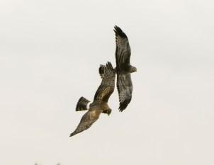 Northern Harrier Pair in Flight