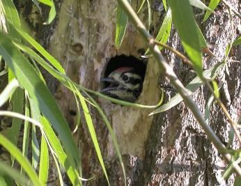 Nuttall's Woodpecker Nestling