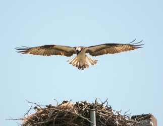 Osprey Nestling Test Its Wings