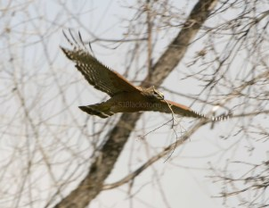Red-Shouldered Hawk1