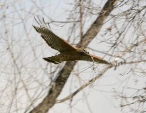 Red-Shouldered Hawk1