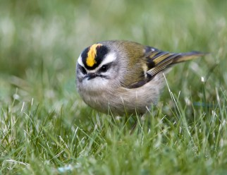 Golden-Crowned Kinglet2