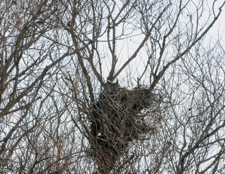 Nesting Great Horned Owl