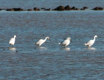 Snowy Egret Congregation