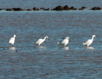 Snowy Egret Congregation