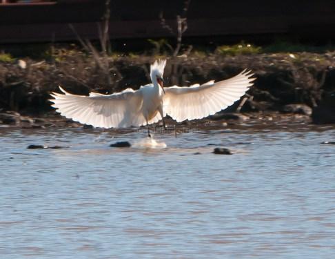 Snowy Egret Temper Tantrum