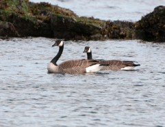 March Canadian Geese2