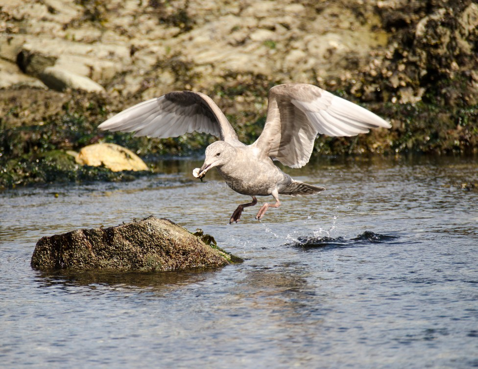 March Glaucous-Winged Gull1