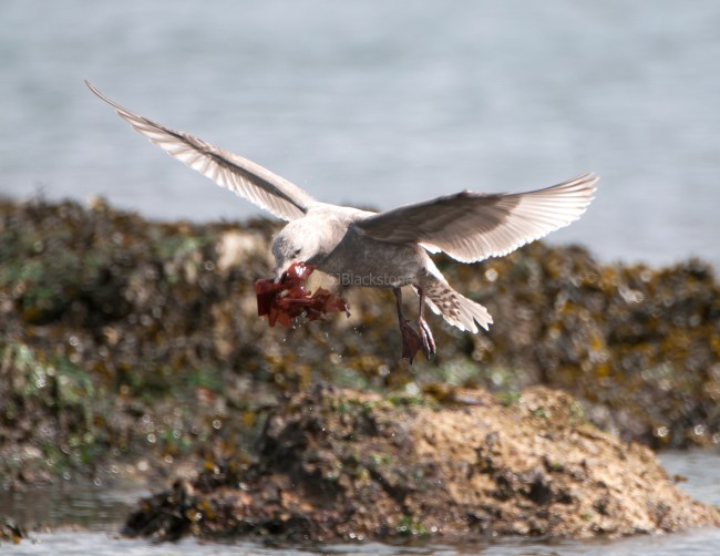 March Glaucous-Winged Gulls6