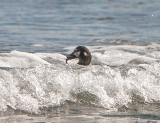 March Harlequin Ducks9