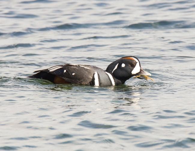 March Harlequin Ducks13