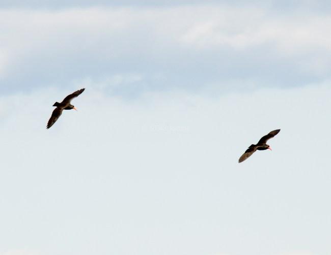 March Oystercatchers1