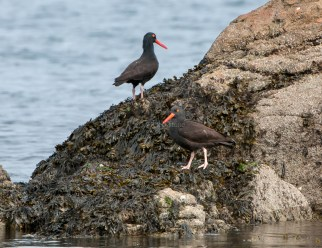 March Oystercatchers4