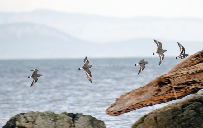 Surf Birds and Black Turnstones1