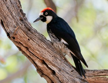 Acorn Woodpecker3