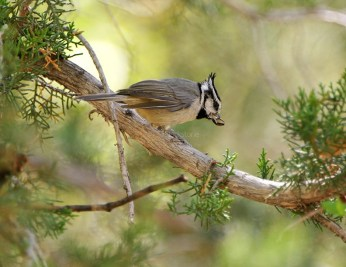 Bridled Titmouse3