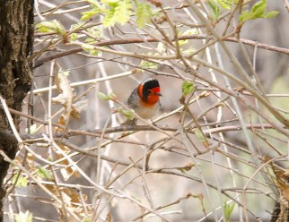Red-Faced Warbler2