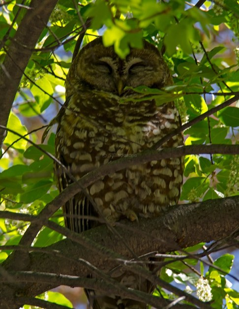 Spotted Owl2