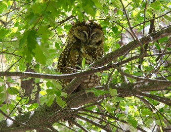 Spotted Owl4