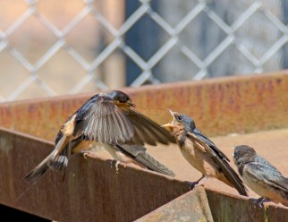 Barn Swallow Chicks03