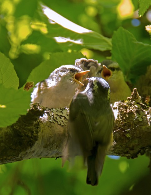 Rose Breasted Nuthatch Chicks05