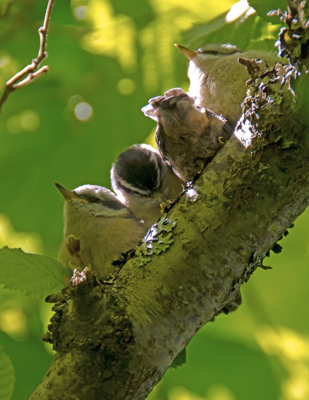 Rose Breasted Nuthatch Chicks07