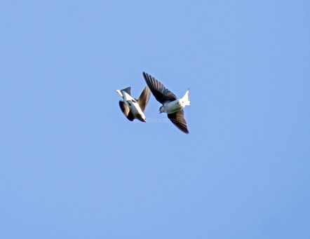 Violet-Green Swallows Feed on the Wing02