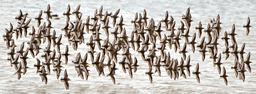 Dunlin in Synchronized Flight