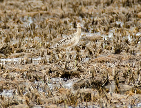 Long-Billed Curlew in Perfect Camoufla ge