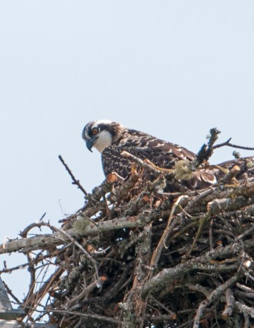 Osprey chick in nest