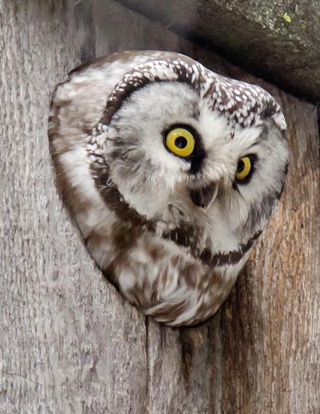 Boreal Owl 6