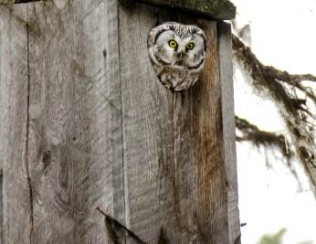Boreal Owl 2