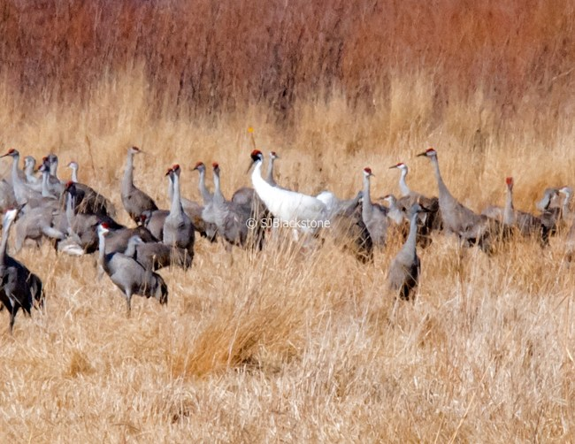Sandhill Cranes with a Whooping Crane