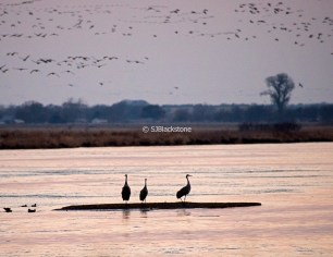 Sandhill Cranes beginning to roost in the Platte River