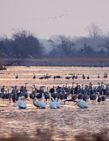 Sandhill Cranes and White Pelicans in the Platte River
