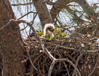 Red-Tailed Hawk Chick