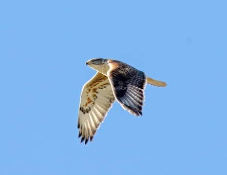 Ferruginous Hawk1