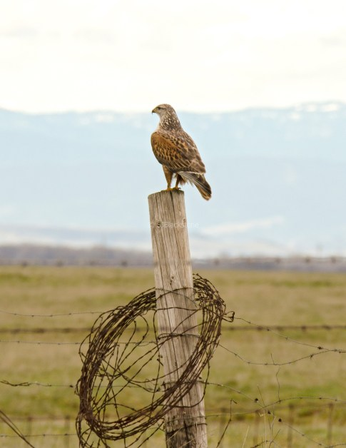 Ferruginous Hawk2